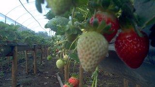 Produtores investem em sistema alternativo e cultivam 'morangos suspensos'